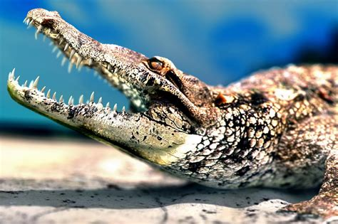 American Alligator Biography And Fresh Images 2013 ...