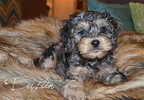 cockapoo puppies indiana cockapoos adorable cockapoo puppies for sale in