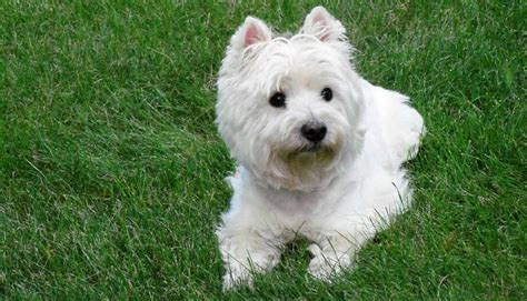 West Highland White Terrier Breed Standards