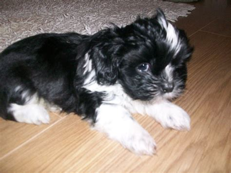 shih tzu puppies for sale in de shih tzu puppies for sale ng16 nottingham nottinghamshire pets4homes