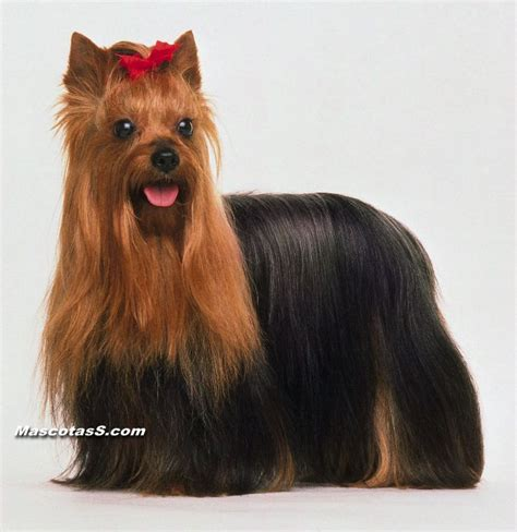 perros yorky perros yorkie picture image by tag keywordpictures