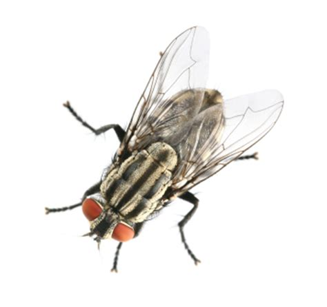 How To Get Rid Of Horse And House Fly Pestmall Blog