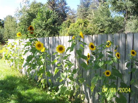 Sunflower Garden Ideas Sunflower Garden Images
