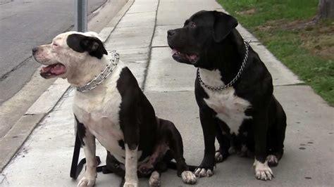 pitbull bullmastiff puppies the all american pit bull mastiff by david warren part 1