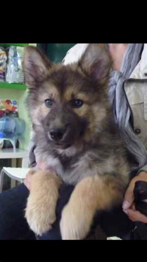 german shepherd puppies alaska alaskan shepherd pups for sale kilmarnock ayrshire pets4homes