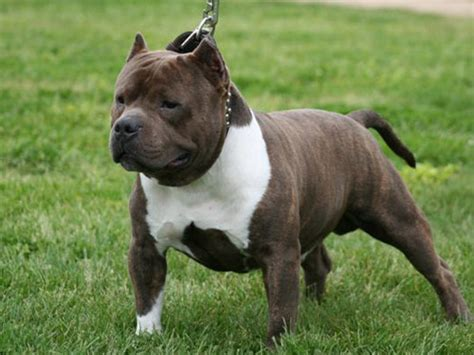 bullies dogs american bully pictures