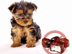 does chocolate kill dogs chocolate can kill your pet grove vets ballymena