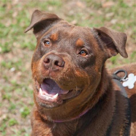brown rottweiler pettalk magazine news you seen a brown rottweiler