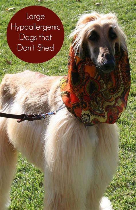 which dogs don t shed large hypoallergenic dogs that don t shed vills