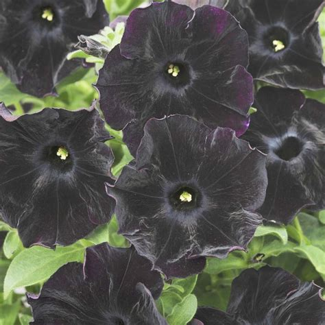 109 best images about black velvet petunias on pinterest