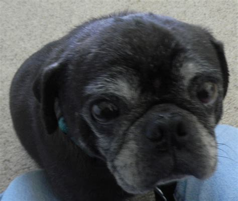 collapsed trachea in pugs kubla khan the pug