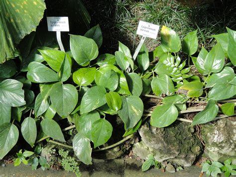 epipremnum aureum epipremnum aureum wikispecies