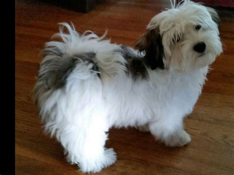 havanese club of southern california dearheart havanese puppies for sale