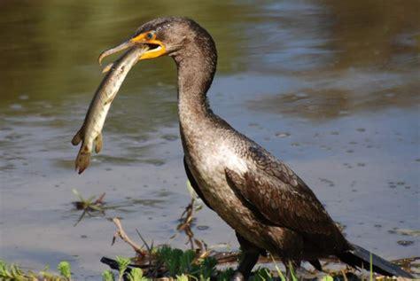 government hunters prepare to kill salmon eating birds