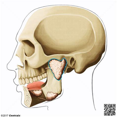glandula submaxilar anatomia gl 226 ndula par 243 tida atlas de anatomia do corpo humano
