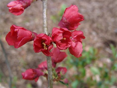 new year flower quince chaenomeles japonica japanese flowering quince go botany