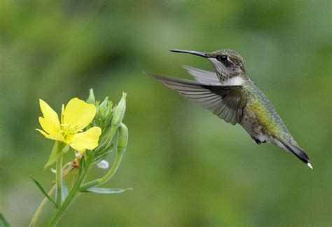 photo of the week ruby throated hummingbird ma