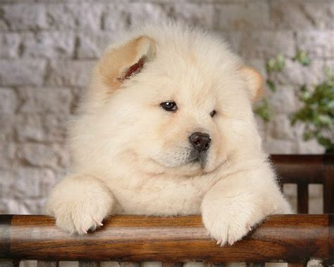 chow puppies puppy image gallery