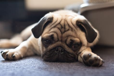 sad pug sad pug 24 sad but photos of pets taken when they realized they re at the vet