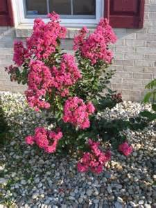 a shrub flowers pink in summer