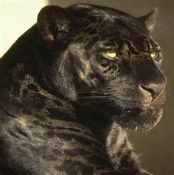 Jaguar Cat Black Jaguar S Are The Most Badass Cat And Possibly The