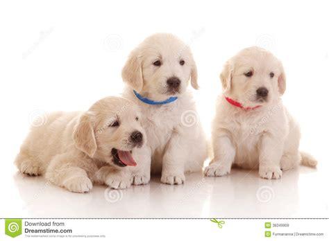 golden retriever puppies 1 month golden retriever yawning stock photo cartoondealer