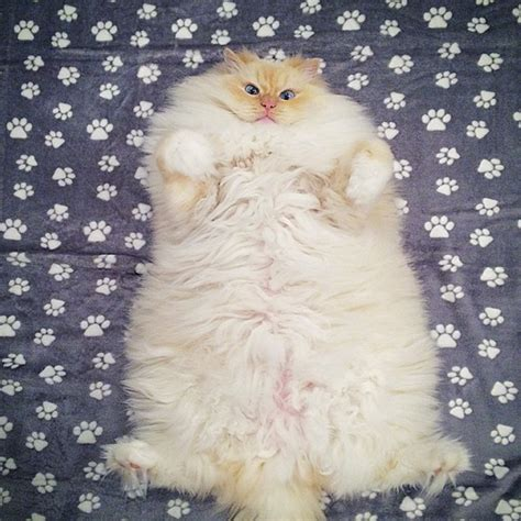 This Cat?s Majestic Fluff Makes It Look Like A Cloud