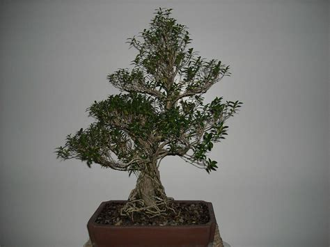 Bonsai Serisa 10759 Limited bonsai tree serissa foetida live tree exposed root