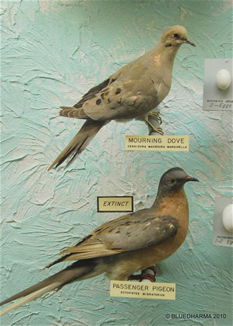 mourning dove passenger pigeon flickr photo sharing