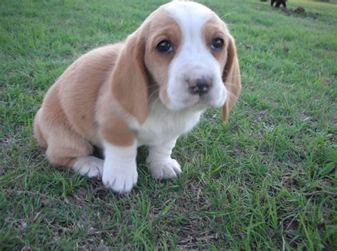 puppy basset hound basset hound puppy pictures information puppy pictures and information
