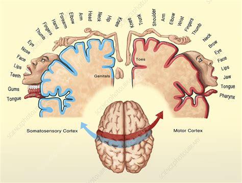 cortical homunculus illustration stock image
