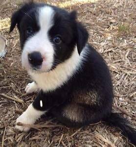 border collie dogs puppies gumtree australia