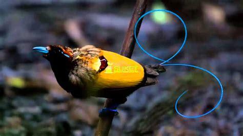 Batu Akik Gambar Burung 4931 jenis cendrawasih burung surga dari papua batu akik agate