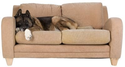 can you shoo a microfiber couch how to kill fleas on a couch and in rugs home guides