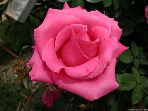 imagenes de rosas reales fotos de rosas 120 fotos de calidad 1024 x 768
