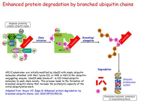 protein degradation enhanced protein degradation by branched ubiquitin chains