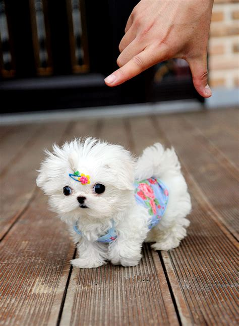 teacup puppy clothes teacup maltese clothes dress the clothes for your pets