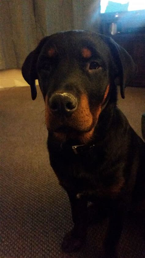rottweiler 8 months 8 month rottweiler for sale mansfield nottinghamshire pets4homes