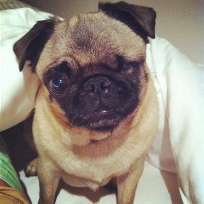 pewdiepie pug 7 best images about pugga on we graduation announcements and trains