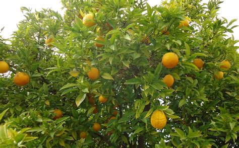 patio orange tree how to grow an orange tree from seed garden how