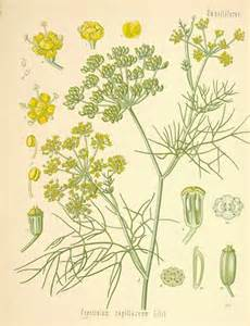 a modern herbal fennel