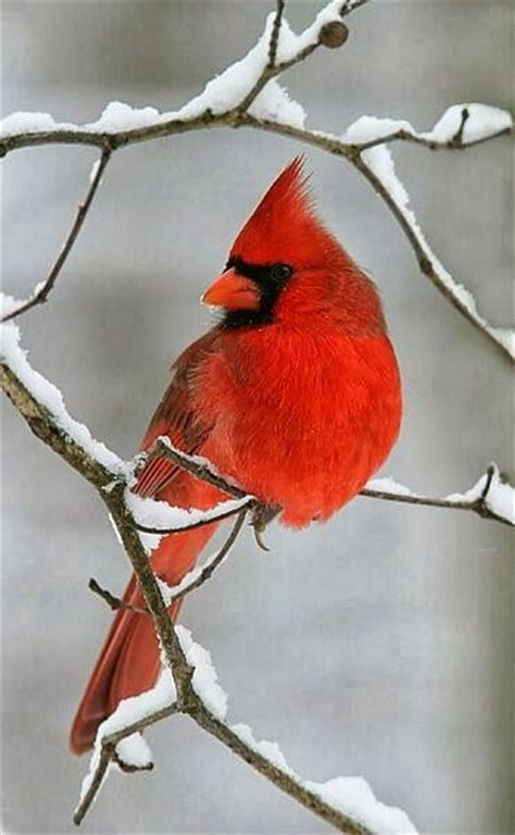 25 best cardinals ideas on pinterest cardinal birds