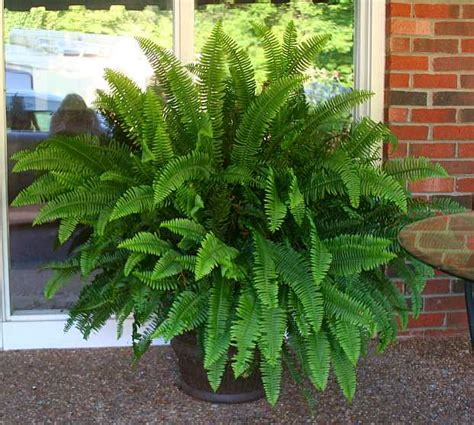 Garden Forum Garden Forum Potted Ferns