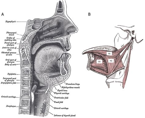 what is the purpose of a sectional view tongue and upper airway function in subjects with and
