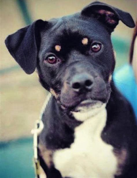 boston terrier rottweiler mix the boston terrier mix dogs daily puppy