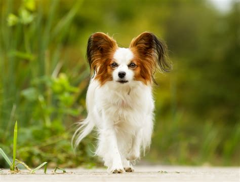 least smelly dogs 10 least smelly breeds iheartdogs
