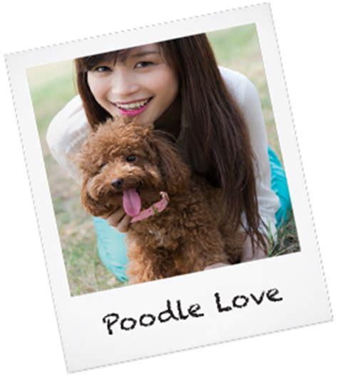 adoption san jose poodle adoption san jose dogs in our photo