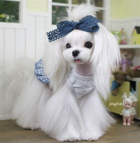 maltese dog cottony hair 23 best maltese grooming hairstyles images on pinterest