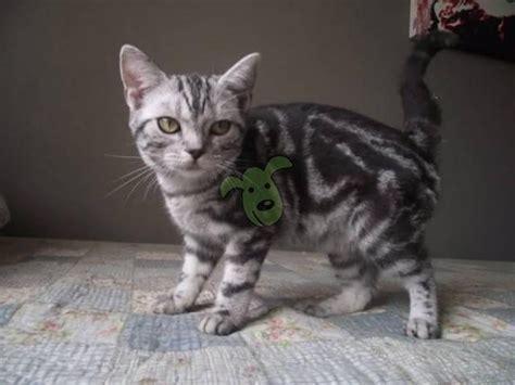Kucing Shorthair kucing american shorthair bandung pasar hewan