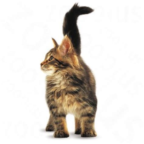 Royal Canine Maine Coon 400gr royal canin maine coon kitten great deals at zooplus